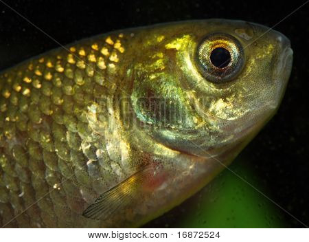 The Crucian Carp (Carassius carassius) is a member of the family Cyprinidae.