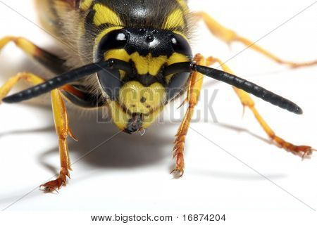 Close-up of a live Yellow Jacket Wasp on white background. Macro shot with shallow dof.