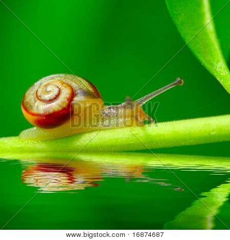 Young snail Trichia hispida on fresh green leaf over garden pool. Macro shot with shallow dof ( snail is 7mm sized )