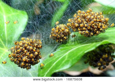 Rare photography. Nest of newborn Wasp Spiders (Argiope bruennichi) Macro with shallow DOF - spiders is 2mm sized.