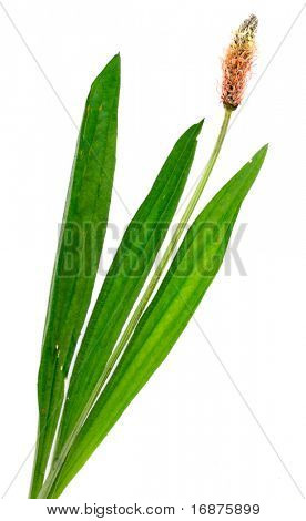Ribwort plantain (Plantago lanceolata) is used frequently in tisanes and other herbal remedies.