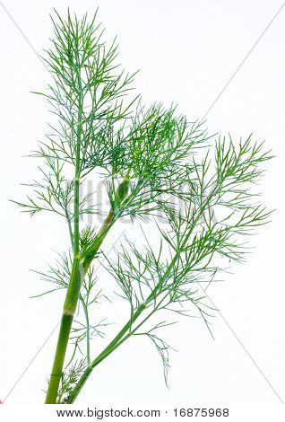 Dill (Anethum graveolens) Fresh and dried dill leaves are used as herbs.