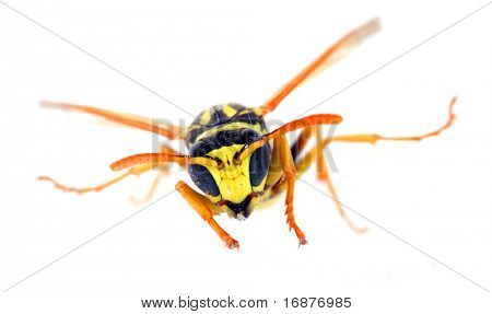 Close-up of a live Yellow Jacket Wasp. Macro with shallow DOF.