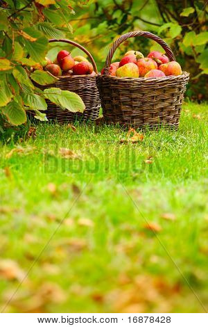 Red and yellow apples in the basket - Autumn at the rural garden.