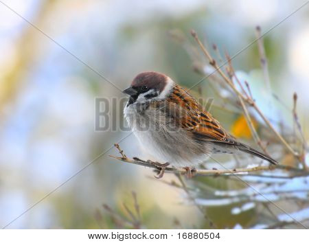 The male of a House Sparrow( Passer domesticus ) on a twig.