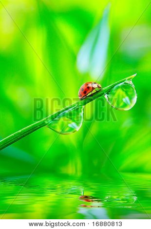 The ladybug on a dewy grass over water level. Close up with shallow DOF.