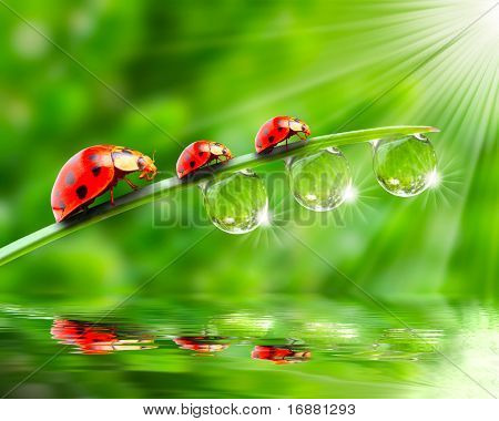 Ladybugs family on a dewy grass. Close up with shallow DOF.