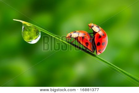 Love-making ladybugs couple on a dewy grass. Love metaphor.