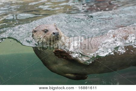 Closeup shot of the European Otter (Lutra lutra).