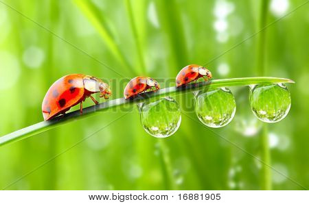 Ladybugs family on a dewy grass.