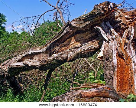 tumbled tree