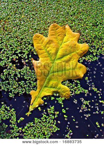 sheet of the oak on marsh water
