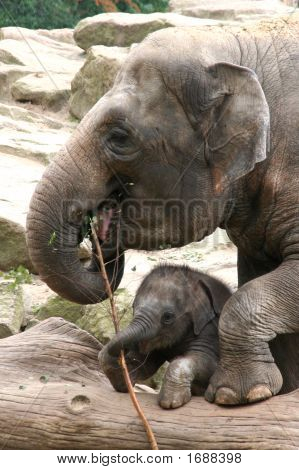 Mother elephant playing with baby