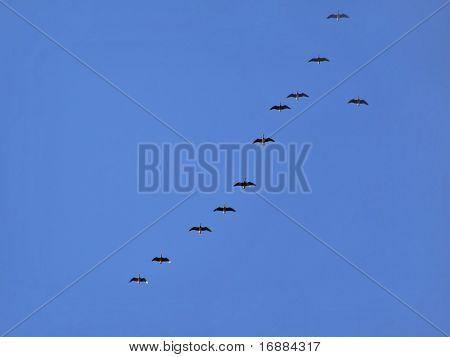 geese in turn blue sky