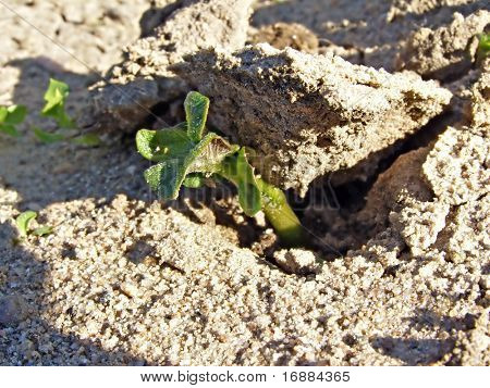 sprout of the potatoes raises crust of the dry land