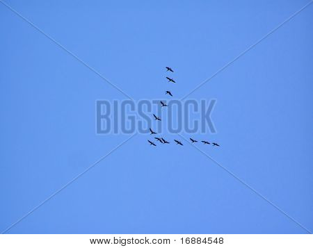 wild geese in sky