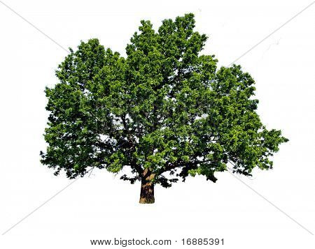 silhouette of the big oak on white background