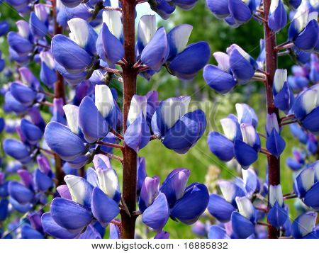 flowerses lupines on field