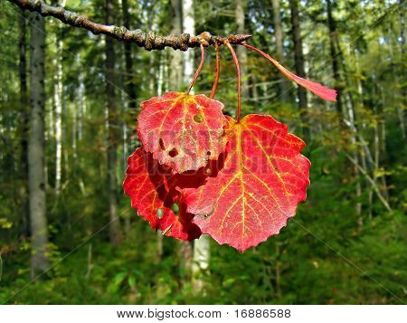 red sheet of the aspen on background green wood