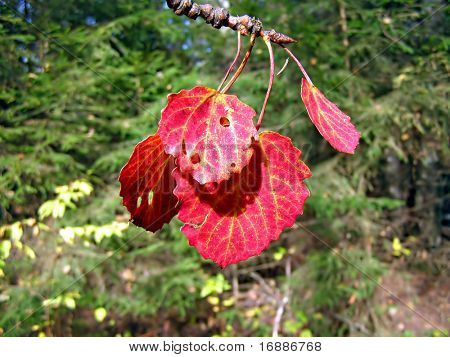 red leaf of the aspen on background of green wood