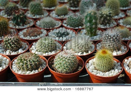 many cactus pots on plant fair