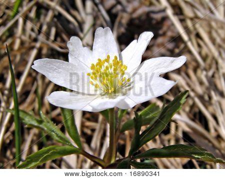 snowdrop amongst dry herb