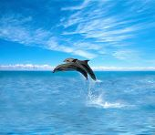 image of game-fish  - Dolphins - JPG