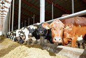 agriculture industry, farming and animal husbandry concept - herd of cows in cowshed on dairy farm poster