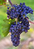 pic of wine grapes  - blue wine grapes - JPG