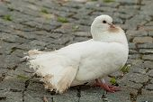 picture of pavestone  - White pigeon on the pavement - JPG