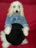 foto of cockapoo  - stylish fluffy dog with jean jacket and a gaucho Hat - JPG