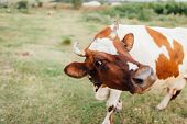 Beautiful Brown And White Cow In A Pasture. poster