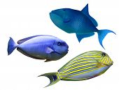 stock photo of saltwater fish  - Tropical reef fish - JPG