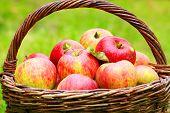 Постер, плакат: Красные и желтые яблоки в корзину осень на сельских сад