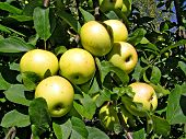 stock photo of apple orchard  - apple on branch - JPG