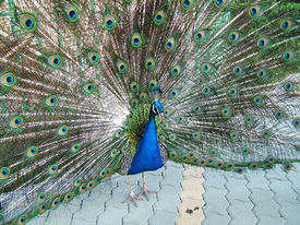 picture of zoophilia  - peacock with it - JPG