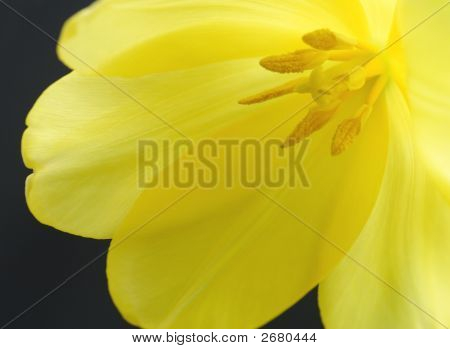 Yellow Tulip Close-Up