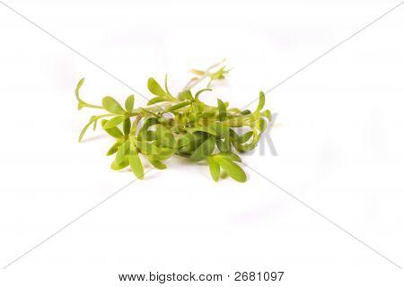 Cuckoo-Flower