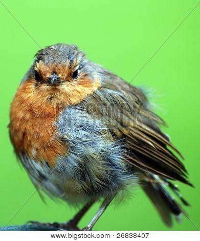Robin rot brest
