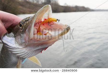 Boca de Lucio con cebo twister amarilla