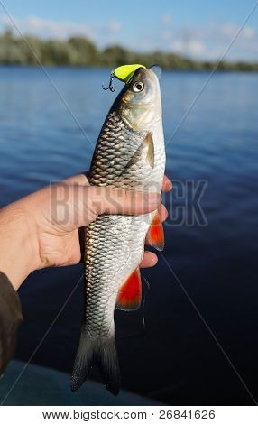 Chub caught on spinning bait against river landscape