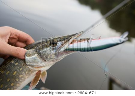 Fisherman holding northern pike with big hardbait in its mouth