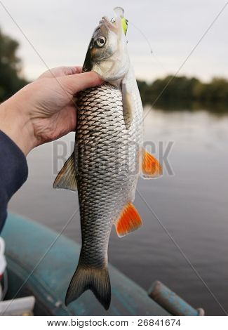 Chub caught on a green hardbait against river landscape