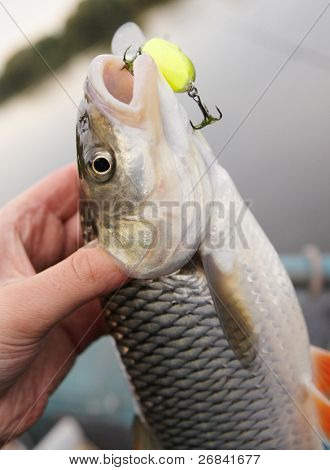 Chub caught on a green hardbait in fisherman's hand