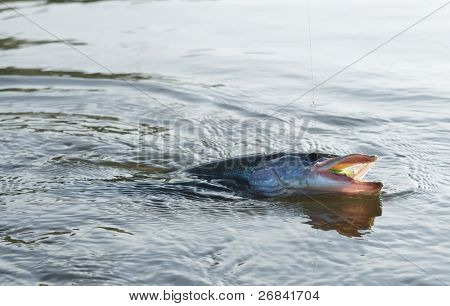 Pike on hook in water with hardbait in mouth