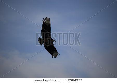 Black Vulture Flying At Everglades National Park