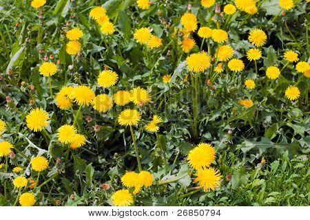 Yellow dandelions in green grass