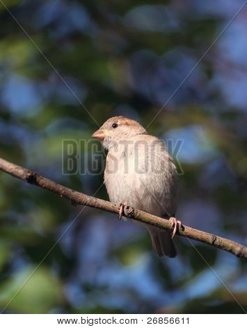 Bird singing on the twig