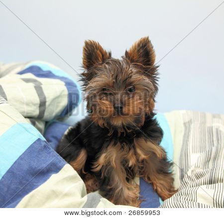 Sweet puppy Yorkshire Terrier in bed.