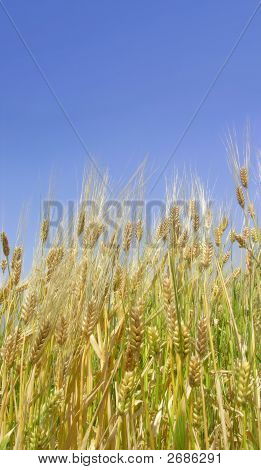 Bright Wheat Field